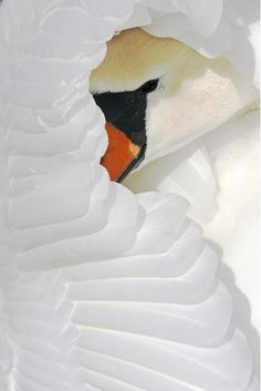 @KatieSheaDesign ♥♥ #Nature #Images  ♥♥ swan - an absolutely breathtaking shot.