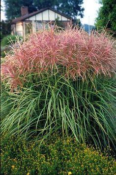 Miscanthus sinensis 'Huron Sunrise' Maiden Grass