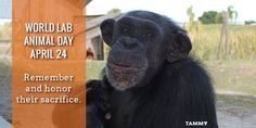 Help Chimpanzees in Research