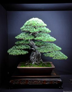 Pinus Parviflora by Mario Komsta shown at the Eda Uchi Kai Bonsai Ten 2013.   No comment needed.     Pinus Parviflora by Mario Komsta     P...