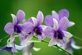 orchidées : Orchidées sauvages de Bornéo. Highmountainous Le paradis des papillons. Banque d'images