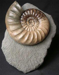 Asteroceras Obtusum