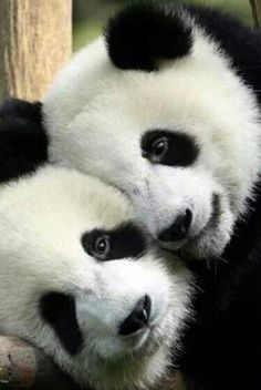 Such adorable pandas.