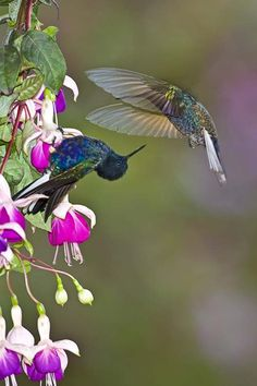 Velvet-purple Coronets Hummingbirds photo by joanne williams