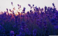 Lavender Fields Wallpaper: Sunset Hd Desktop Wallpaper High Definition and Lavender Field 2560x1600px