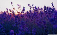 Lavender Fields Wallpaper: Sunset Hd Desktop Wallpaper High Definition and Lavender Field 2560x1600px