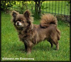 Wunderschöner Schoko MiniChihuahua!! Kein... (Köln