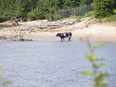 Nederlandse boerderijdieren: koe zoekt verkoeling door pootje te baden in de rivier de Waal
