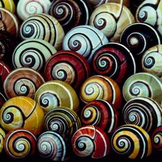 "pearl-nautilus: "" Polymita picta, common name the ""Cuban land snail"" or the ""painted snail"". This species is the type species of the genus Polymita. This snail is endemic to Cuba. This species is Hermaphroditic and uses special love darts to stick. Patterns In Nature, Textures Patterns, Nature Pattern, Beautiful Patterns, Snail Shell, Sea Snail, Nautilus, Sacred Geometry, Swirls"