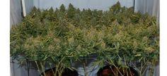 What is scrogging cannabis