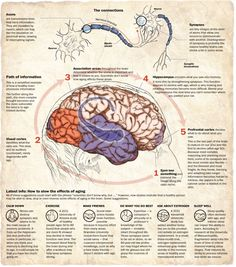 / Alberto Cuadra & Bonnie Berkowitz : The aging brain Information graphic describing the effects of agin on the human brain. Ink pen colored in Photoshop Online version can be found here :. Brain Anatomy, Anatomy And Physiology, Healthy Brain, Brain Health, Dental Health, Developement Personnel, Brain Facts, Brain Science, Medical Science