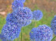 Ceapă decorativă Azureum   Sweet Garden Allium, Flower Prints, Sweet, Garden, Flowers, Google Search, Sun, Plant, Candy