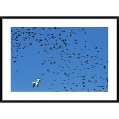 Global Gallery 'Red-Winged Blackbird and Yellow-Headed Blackbird Mixed Flock With Snow Goose' Framed Photographic Print Size: