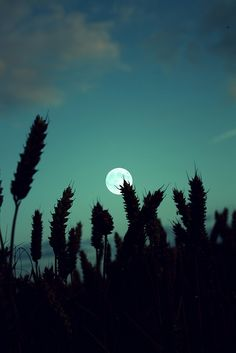 wheat silhouette and full moon