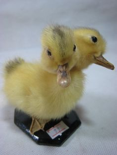 Taxidermy double-headed cute animal duck duckling creepy weird stuff collectible birthday gift. $30.00, via Etsy.