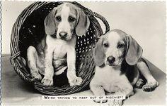 Beagle puppies - vintage postcard