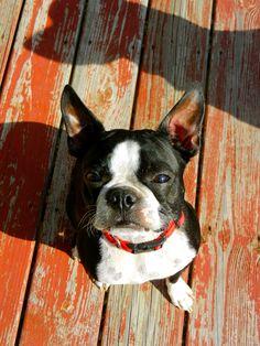 Marley, my presh baby Boston Terrier