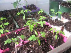 Não Perca!l Tomate cereja em vaso - passo a passo de como plantar - # #alimentosorgânicos #Comoplantar #dicasdejardinagem #tomate