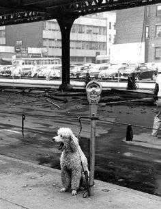 Parking Meter Poodle - 1955