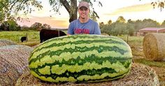 Daniel White poses with his record-setting watermelon.