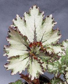 Begonia '50 Shades of Gray'