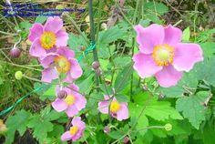 Japanese anemone, Japanese windflower, Japanese thimbleflower