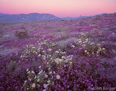 This sunset is worth the trip !  CADAB 110 -   Desert sand verbena and dune evening primrose blooming on dunes at sunrise with Coyote Mountain in the distance, Anza-Borrego Desert State Park, California, USA --- (4x5 inch original, File size: 6110x4800, 83.9mb uncompressed).