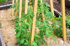 Video: How to Build a Tomato Trellis – Kevin Lee Jacobs