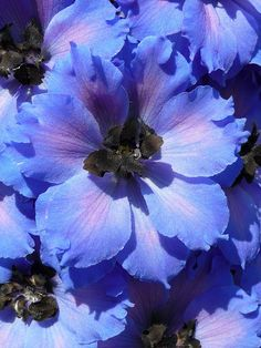 Periwinkle Blue Delphinium in bloom Exotic Flowers, Amazing Flowers, My Flower, Purple Flowers, Beautiful Flowers, Flower Colour, Birth Flower, Delphinium Azul, Delphinium Flowers