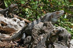 black spiny-tailed iguana - Ctenosaura similis - Christian Mehlführer