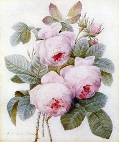 The Athenaeum - Roses (Pierre-Joseph Redoute - 1836)