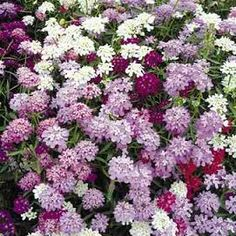 '500 Seeds Candytuft  Mixed Lot' is going up for auction at  5pm Sat, Apr 20 with a starting bid of $3.