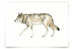 Wolf Watercolour Study Art Prints by Eve Schultz at minted.com