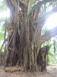 A 100-year-old Banyan tree #wow