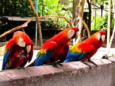 Macaw in Native country..