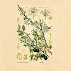 Olive botanical print Botanical poster Vintage botanical