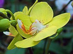 Виды орхидеи Phalaenopsis - YouTube