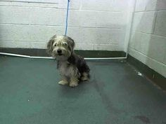 Biewer or Parti Yorkie MARCO (A1644508) I am a male tricolor Yorkshire Terrier mix.  The shelter staff think I am about 1 year old.  I was found as a stray and I may be available for adoption on 09/20/2014. — Miami Dade County Animal Services. https://www.facebook.com/urgentdogsofmiami/photos/pb.191859757515102.-2207520000.1410810574./840105572690514/?type=3&theater