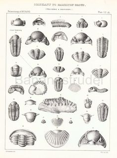1888 Antique Paleontology Lithograph of Trilobites and Other Fossils.