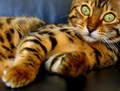 theyre smart and gorgeous. - Bengal Kittens - Ideas of Bengal Kittens - Bengal cat. theyre smart and gorgeous. The post Bengal cat. theyre smart and gorgeous. appeared first on Cat Gig. Pretty Cats, Beautiful Cats, Animals Beautiful, Pretty Kitty, Simply Beautiful, Beautiful Moments, Absolutely Gorgeous, Gato Animal, Mundo Animal