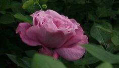 Rosa 'Blue Parfum'