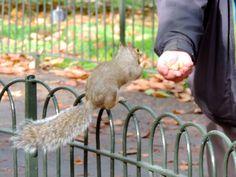 Ardillas en St.James Park, Londres.