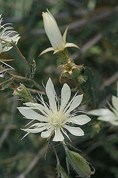 Nuttallia (Mentzelia) nuda - White Evening star - Stickleaf Family (Loasaceae) - Summer and Late - Colorado Wildflower
