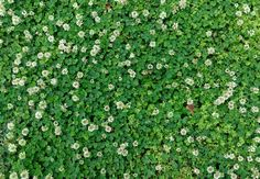 How to Get Rid of Clovers