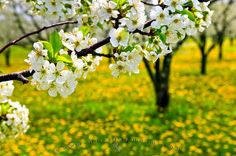 Photo of flowering fruit trees during spring in an orchard near Hamilton in Ontario, Canada.