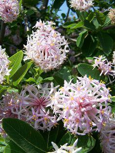 Pompom Tree (Dais cotinifolia) care instructions