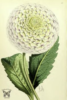 Dahlia 'Queen of the Beauties'. The Floral Magazine v.7 1868
