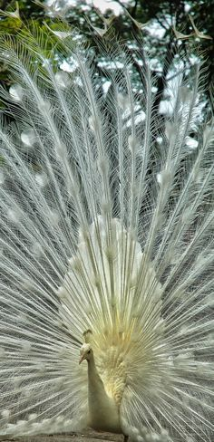 The extremely rare white peacock. Best Picture For Mammals poster For Your Taste You are looking … White Peacock, Peacock Bird, Rare Animals, Cute Baby Animals, Strange Animals, Wild Animals, World Pictures, Animal Pictures, Beautiful Birds