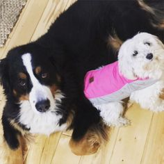 Bernese mountain dog and multipoo