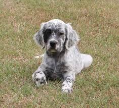 le setter anglais est une race de chien de chasse d 39 origine britannique c 39 est un setter de. Black Bedroom Furniture Sets. Home Design Ideas